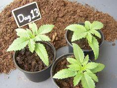 https://www.oldamsterdamseeds.com/nl/page-wietplanten voorgroeien dag 8 t m 20-119