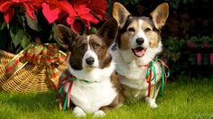 Cardigan Welsh Corgi: Loyal, affectionate, and smart; even-tempered, never shy.  Click to learn more about lifestyle, grooming, etc. | #WOOFipedia #WOOF