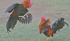 More of the wild roosters natural fight.  Photo credit and copyright by RUTH BECKNER.Before the fight.