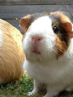 Looks like my old guinea pig Nutty if you got rid of the dark brown and the Orange red brown color covered his back and legs down to his feet. Rip Nutty!