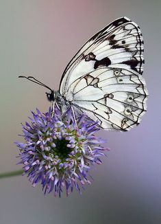 seasonalwonderment:♥ Butterfly on Allium