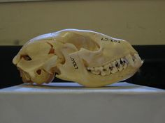 SAT. JUNE 6 *Science on Site* at #CuriosityLab 11AM-2PM Sara #Weinstein, UCSB presents Aging #Raccoon #Skulls and Raccoon #Parasites - free with Museum admission #parasitology photo: Peter Halasz