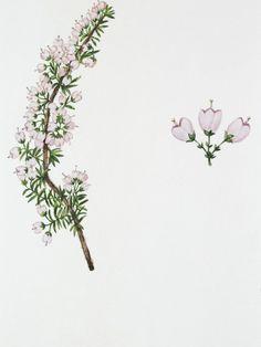 Erica arborea (brezo branco)