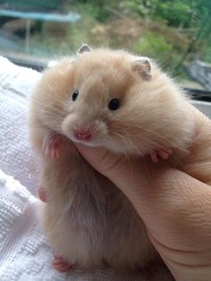 squeee cute pedigree hamster a Syrian long haired cream ideal pets