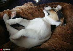 Parson Jack Russell Terrier Pepe  Süße Hundeträume  Rasse: Parson Jack Russell Terrier / Name: Pepe     Mehr lesen: http://d2l.in/46  dogs2love - Gassi gehen zum Verlieben. Partnerbörse für alle, die Hunde lieben.  Bild, Dating, Foto, Hund, Single