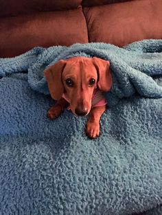 Dachshund Breed, Dog Heaven, Wiener Dogs, Save Animals, Cool Pets, Pet Stuff, Mans Best Friend, Dog Owners, Puppy Love