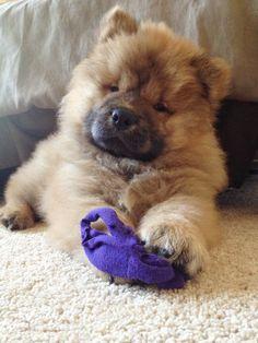 Chow Chow Puppy UMKA: