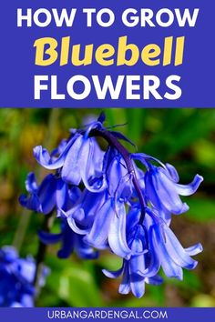 Bluebells are attractive, low maintenance perennial flowers that will come back year after year. Here's how to grow Bluebells in your flower garden. #flowers #flowergarden #perennials Flower Gardening, Gardening Tips, Planting Flowers, Flowering Plants, Hardy Perennials, Flowers Perennials, Blue Bell Flowers, Annual Flowers, Amazing Flowers