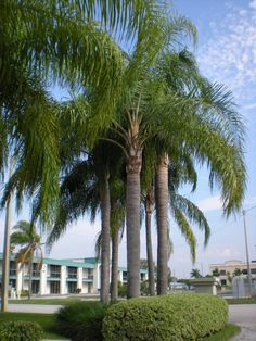 Queen Palm (Syagrus Romanzoffiana) - Zone 8b-11 Part Shade to Full Sun (some shade preferred). 50ft Tall. Leaves (5-15ft long) grow upward. Fast growing. Best planted in groups of 3 or 5 space 8-10ft apart.Shallow root system, roots spread horizontally while staying within the first 4 feet of the topsoil. Susceptible to high winds toppling. Not self-cleaning, but will drop leaves-don't plant by house/drive. Prefers water/fertilizer. Propagated by seeds from green fruit that hasn't ripened…