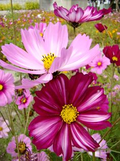 Two Beautiful Cosmos! - Flower Festival, Taiwan ----> Crazy About Flowers… Cosmos Flowers, Rare Flowers, Exotic Flowers, Amazing Flowers, Pink Flowers, Beautiful Flowers, October Birth Flowers, Month Flowers, Flower Festival