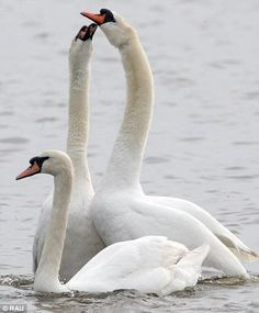 Eyes for each other: The two swans behave like a nesting couple at the 1,000-bird swannery