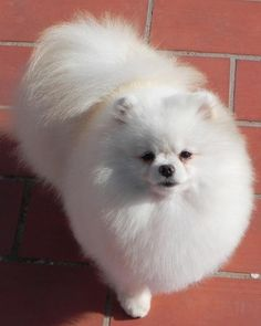 Marvelous Pomeranian Does Your Dog Measure Up and Does It Matter Characteristics. All About Pomeranian Does Your Dog Measure Up and Does It Matter Characteristics. Spitz Pomeranian, Pomeranian Colors, I Love Dogs, Cute Dogs, Shih Tzu Hund, Save A Dog, Getting A Puppy, Companion Dog, Pets