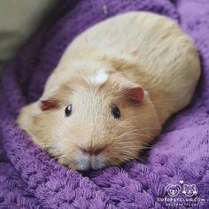 From @3happypiggies: Comfy Piggy #cutepetclub [source: http://ift.tt/2h4xoTR ]