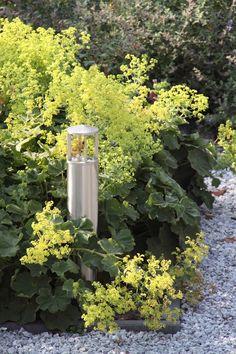 Verlichting van In-lite en bloeiende vrouwenmantel (Alchemilla mollis)