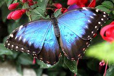 Butterfly makes light of technology   Blue morphos on display through March at Powell Gardens