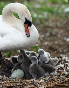 Swan with cygnets.  Mute Swans are not native to North America and often compete with native wildfowl for food and nesting territory.