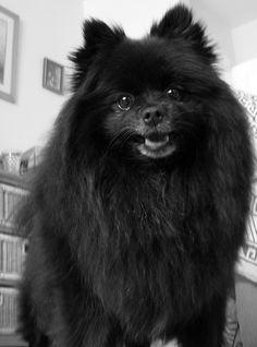 hellofromwonderland: I want a black pomeranian so bad -__- Black Pomeranian Puppies, Cute Pomeranian, Black Lab Puppies, Cute Puppies, Dogs And Puppies, Corgi Puppies, Cute Dogs Breeds, Dog Breeds, Dog Hotel