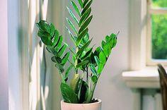 Latin: Zamioculcas Zamiifolia
