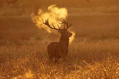 Red Deer Stag, Richmond Park, Surrey - by Craig Denford