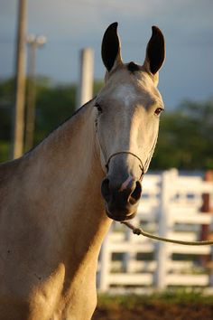 Baroness Breed (JHR Quentão x Baroness RM)-Campolina Campolina, Suffolk Punch, Clydesdale, Horse Saddles, Dressage, Animals Beautiful, My Best Friend, Repeat, Brazil