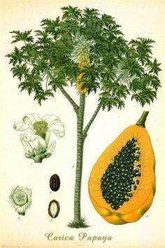 PAPAYA TREE classic botanical poster VIBRANT FRUIT singular EXOTIC 24X36