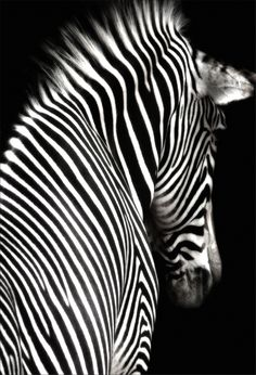 a black and white zebra image at an interesting angle showing head and shoulders. the zebra is facing slightly away from the camera and is isolated on a black background. Black White Photos, Black N White, Black And White Photography, White Style, Zebras, Beautiful Creatures, Animals Beautiful, Animal Photography, Amazing Photography