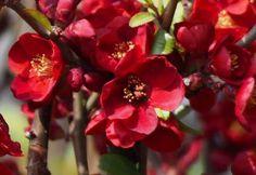 A japánbirs lombfakadás előtt kora tavasszal elsőként hozza pirosas virágait. Ágai tövisesek. Sárgászöld birs alakú kerek illatos termése lombhullás után is a bokron maradnak.