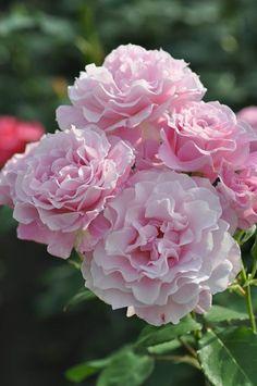 Rose Gardening Hybrid Tea Rose: Rosa Silent Love 'サイレントラブ (Japan, before Amazing Flowers, Beautiful Roses, Colorful Flowers, Beautiful Flowers, Pink Roses, Pink Flowers, Foto Rose, Ronsard Rose, Types Of Roses