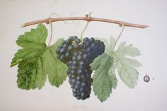 Petit chiraz from 'Ampélographie française', by Victor Rendu. Paris, 1857. Ampelographies describe and often illustrate grape varieties. The hand-coloured lithographs of Eugene Grobon make this book possibly the most prized of the great ampelographies of the nineteenth and early twentieth centuries.