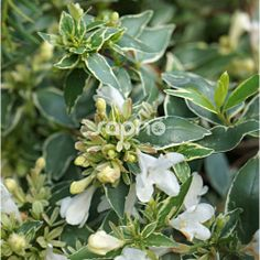 Medium-Sized Plants for Center Areas: Abelia grandiflora LUCKY LOTS ' - light colored evergreen leaves with white summer flowers, 2' x 3'