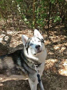My Husky/wolf, Timber. Always on the lookout for squirrels.