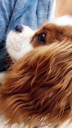 Cavalier King Spaniel, Cavalier King Charles Dog, King Charles Spaniel, Super Cute Puppies, Cute Dogs And Puppies, Cute Dogs Images, Cute Animal Pictures, Ugly Dogs, Spaniel Puppies