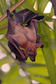 Muscular bat