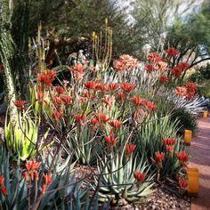 Aloe hereroensis blooming in the Succulent Gallery.