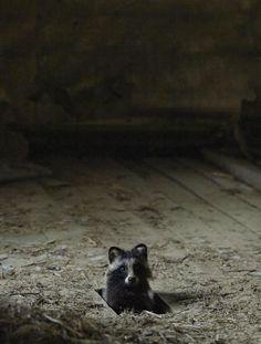 Dans son projet intitulé ''The House in the Woods'' le photographe nous fait découvrir les souris, écureuils ou blaireaux qui ont pris possession des lieux. La nuit, chouettes, renards et autres chasseurs nocturnes s'aventurent également dans la bâtisse laissée à l'abandon. Une mission délicate pourKai Fagerströmqui devait parvenir à prendre les clichés sans déranger nos petits amis, mais qui s'avère être payante à la vue de ces magnifiques photos.
