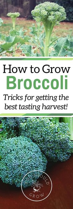 If you've had trouble growing broccoli before, read these tips for getting a tasty crop. Grow your own delicious broccoli in your garden. via /whippoorwillgar/  #gardeningideas