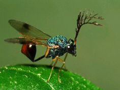 Eucharitid wasp