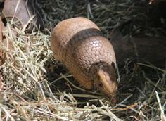 Paraguay+National+Animal   The southern three-banded armadillo lives in Bolivia, Brazil, Paraguay ...