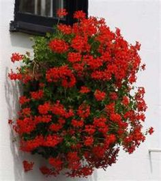 Red geraniums in medium/small clay pots with clay saucers, ideally all in a row along a mantle or window sill, would be a low cost/high impact accessory. Make sure you choose the feathery, French type of petals and the right geranium red. Geraniums Garden, Ivy Geraniums, Geranium Planters, Pruning Geraniums, Geranium Care, Perennial Geranium, Geranium Dress, Cranesbill Geranium, Hardy Geranium