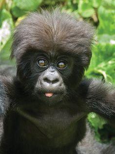 Gorillas in Rwanda #Africa #Rwanda #gorillas