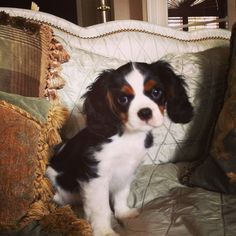 Cavalier King Charles Spaniel @Natasha S C Lowrey...this is my best friend's dog