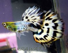 From Akrawat guppy farm in Thailand. Tropical Fish Aquarium, Freshwater Aquarium Fish, Planted Aquarium, Guppy, Fish Care, Fish Ponds, Beautiful Fish, Colorful Fish, Zoo Animals