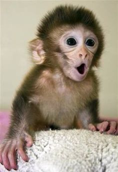 Ideas for baby animals monkey pictures Cute Baby Monkey, Pet Monkey, Cute Little Animals, Cute Funny Animals, Fox Terriers, Cute Animal Pictures, Cute Monkey Pictures, Exotic Pets, Exotic Animals