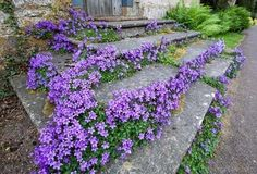 CAMPANULA portenschlagiana 'Birch ' - Krybeklokke, store blomster, farve: violet, lysforhold: sol/halvskygge, højde: 15 cm, blomstring: juni - juli, god til bunddække.