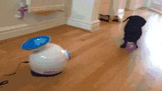 A dachshund and a ball launcher