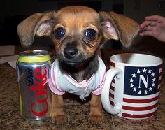 mexican hotdog. cutest little dog ever.
