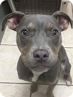 Fort Wayne, IN - American Pit Bull Terrier Mix. Meet Zia, a puppy for adoption. http://www.adoptapet.com/pet/18076065-fort-wayne-indiana-american-pit-bull-terrier-mix