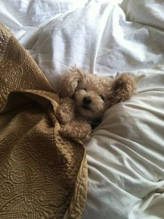 Cutest puppy bundled up in bed
