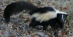 Rid Skunk Odor  If you or a loved one are ever sprayed by a skunk, jump into your shower with a bottle of Coke and pour the soda over the affected area.   Unusual Uses For Coca Cola | Homesessive.com