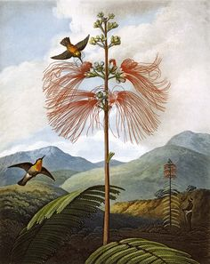 Philip Reinagle, Large flowering Sensitive Plant (from Robert John Thornton's Temple of Flora), 1799. Image supplied by Phaidon